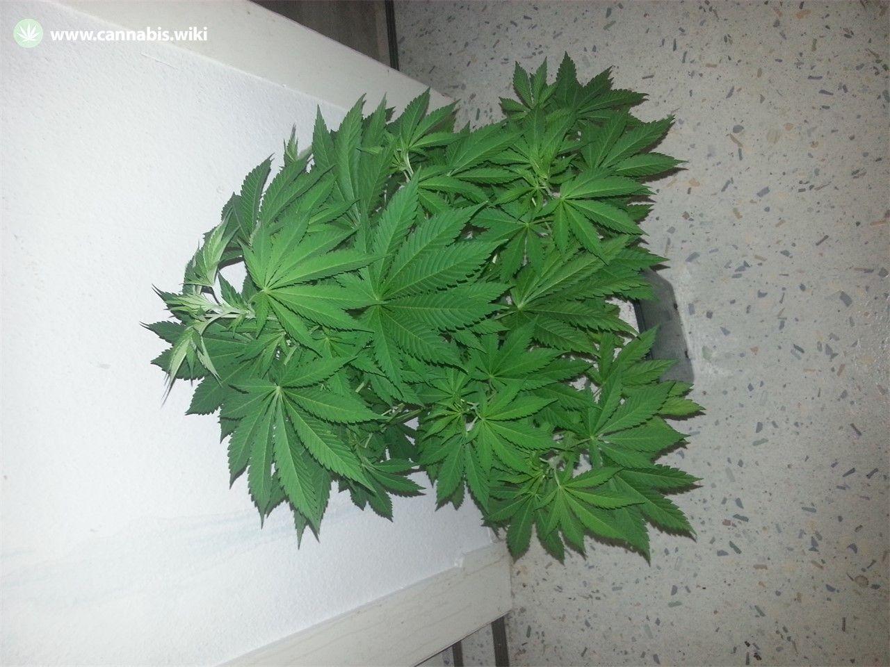 Cannabis Wiki - Strain Purple Bud - Pub - Indica