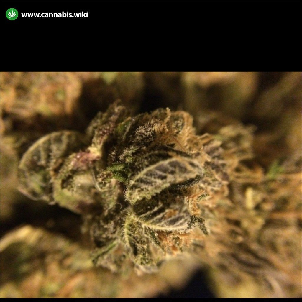 Cannabis Wiki - Strain Purple Mr. Nice - Pmn - Indica