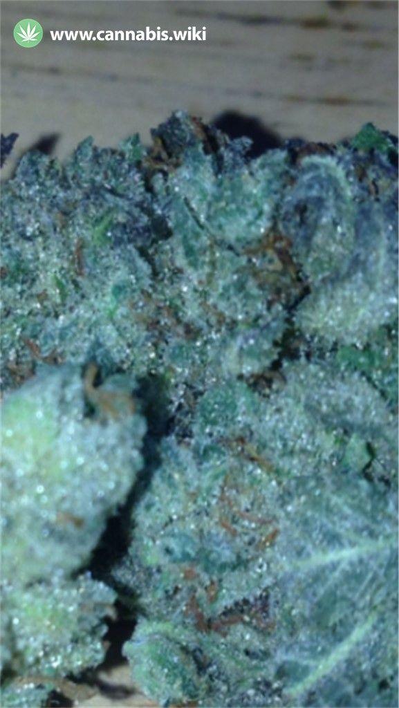 Cannabis Wiki - Strain Purple Star - Pst - Indica