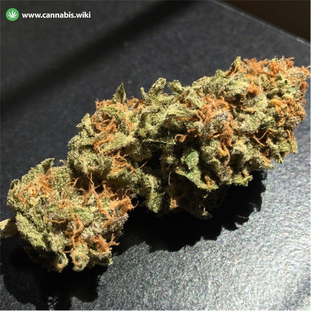 Cannabis Wiki - Strain Qush - Qsh - Indica