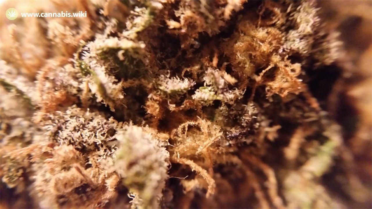 Cannabis Wiki - Strain Green Crack - Gc - Sativa